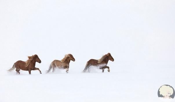 """""""В царстве легенд"""" : невероятно красивые фотографии лошадей среди мистических исландских пейзажей"""