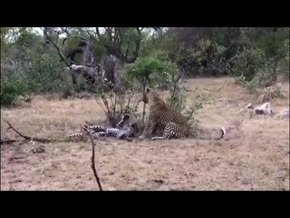 Young Leopard Entering The Area Of Male Leopard