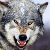 ВолкОдиночка