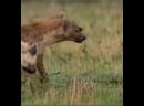 лев против гиены