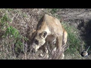 Мир Приключений - Львы едят еще живую зебру. Серенгети. Танзания. Lions attack. Serengeti. Tanzania