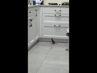 Котенок пытается запрыгнуть на стол