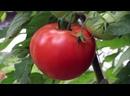 Самые лучшие сорта томатов без пасынкования для теплиц и открытого грунта.