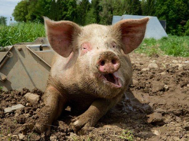 Визжащие свиньи Если есть что-то, что слоны ненавидят сильнее, чем горящих верблюдов, то это визжащие свиньи. Историк Прокопий Кессарийский в своей «Истории войн» вспоминает: «Когда Хозров и