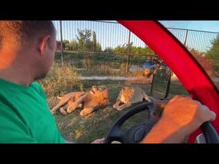 Лев Гек получил по рыжей мордахе от львицы Клавы !