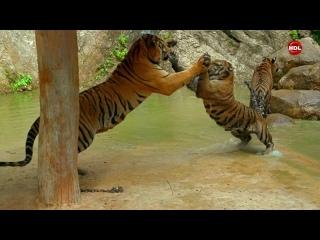 Страны Тихого океана 4 - Королевство тигров