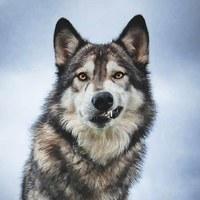 Максим Волк