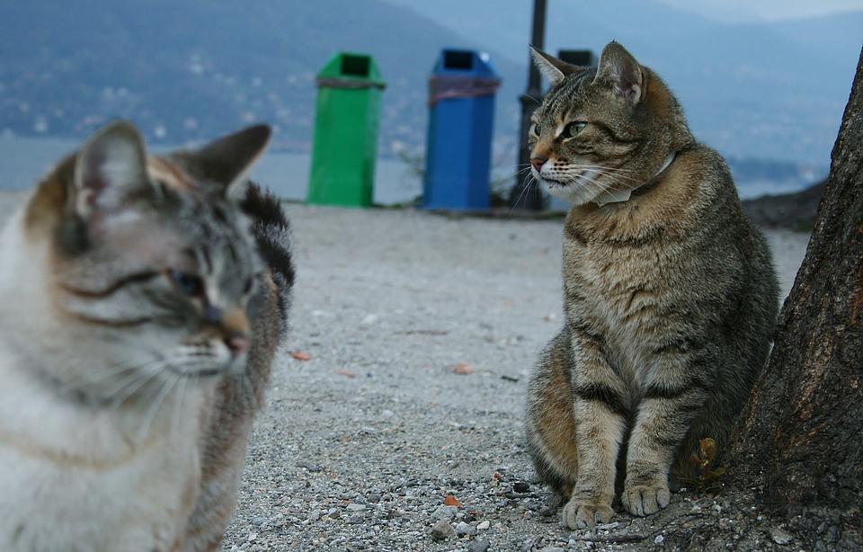 две кота