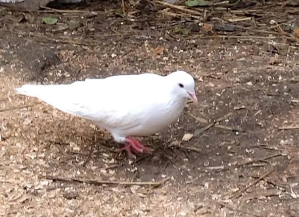 Всем здравствуйте!прибился голубь,видно что ручной...