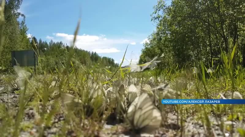 Нашествие капустниц на дачи под Красноярском