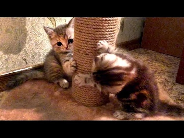 Cute kittens are playing with a scratching post! Милые котята играют с когтеточкой!