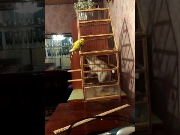 Сиамская кошка и попугай