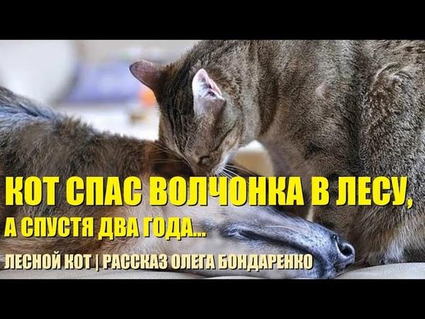 Кот спас беззащитного волчонка в лесу Как спустя два года волк отплатил коту