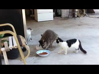 Енот нагло ворует кошачий корм у трёх котов :3