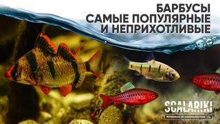 Барбусы  Самые неприхотливые и популярные аквариумные рыбки