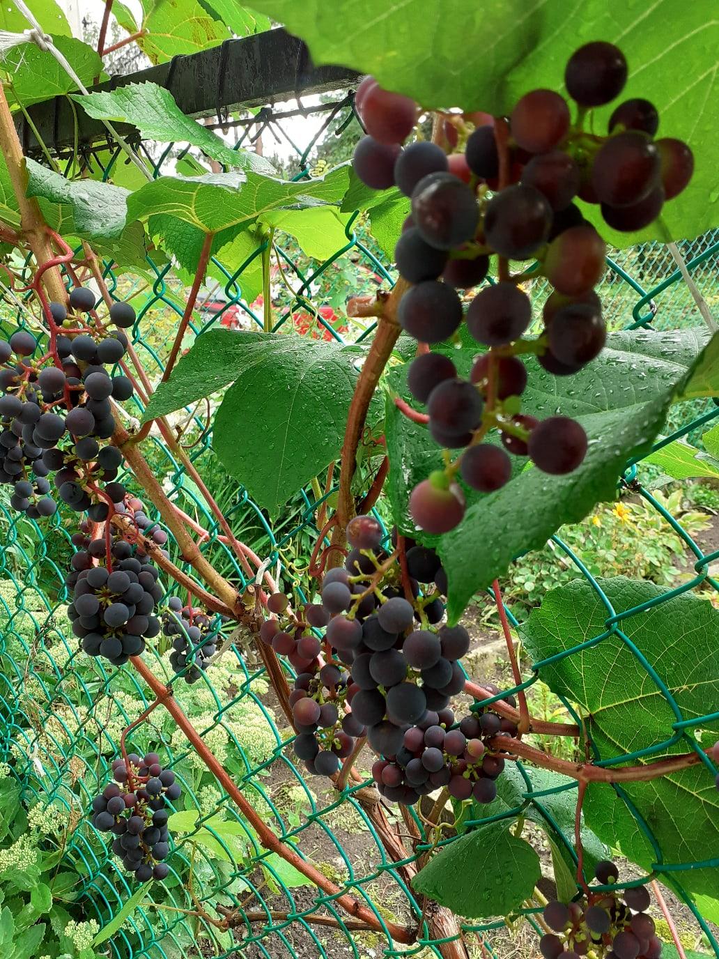 А у нас вот такой виноград на даче.