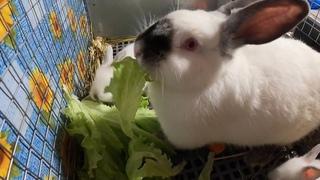 ВЕС крольчат в 3 недели / Калифорнийский кролик / Крольчата растут самостоятельно кушают/Мари Мистик